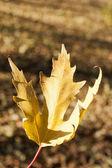 Closeup di foglia d'autunno — Foto Stock