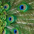Peacock tail feathers — Stock Photo