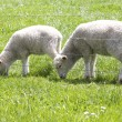 Cute lamb grazing — Stock Photo
