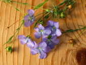 Linum, flax — Stock Photo
