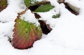 Leaves in the snow — Stock Photo