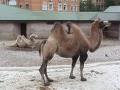 The camels — Stock Photo