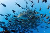 Trevally Bluefin trevally — Стоковое фото