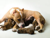 Dog and a few little puppies — Stock Photo