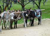 Five donkeys — Stock Photo