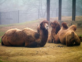 Kamelen in de dierentuin — Stockfoto
