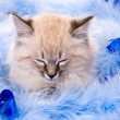 Kitten on New Year's blue fluffy coating accessories — Stock Photo