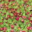 A lot of red flowers — Stock Photo #8061585