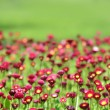 A lot of red flowers — Stock Photo