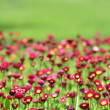 A lot of red flowers — Stock Photo #8061591
