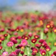 A lot of red flowers — Stock Photo #8061622