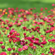 A lot of red flowers — Stock Photo #8061628