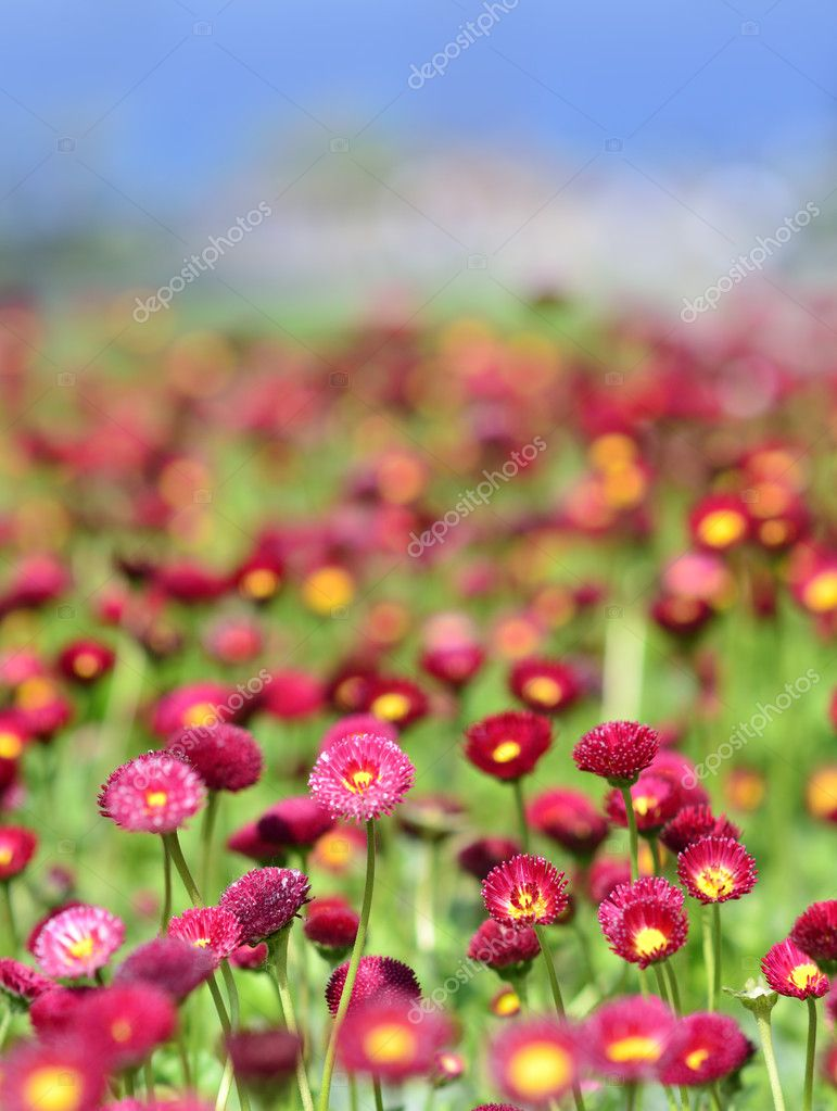 Many alive red flowers in and out of focus — Stock Photo #8061622
