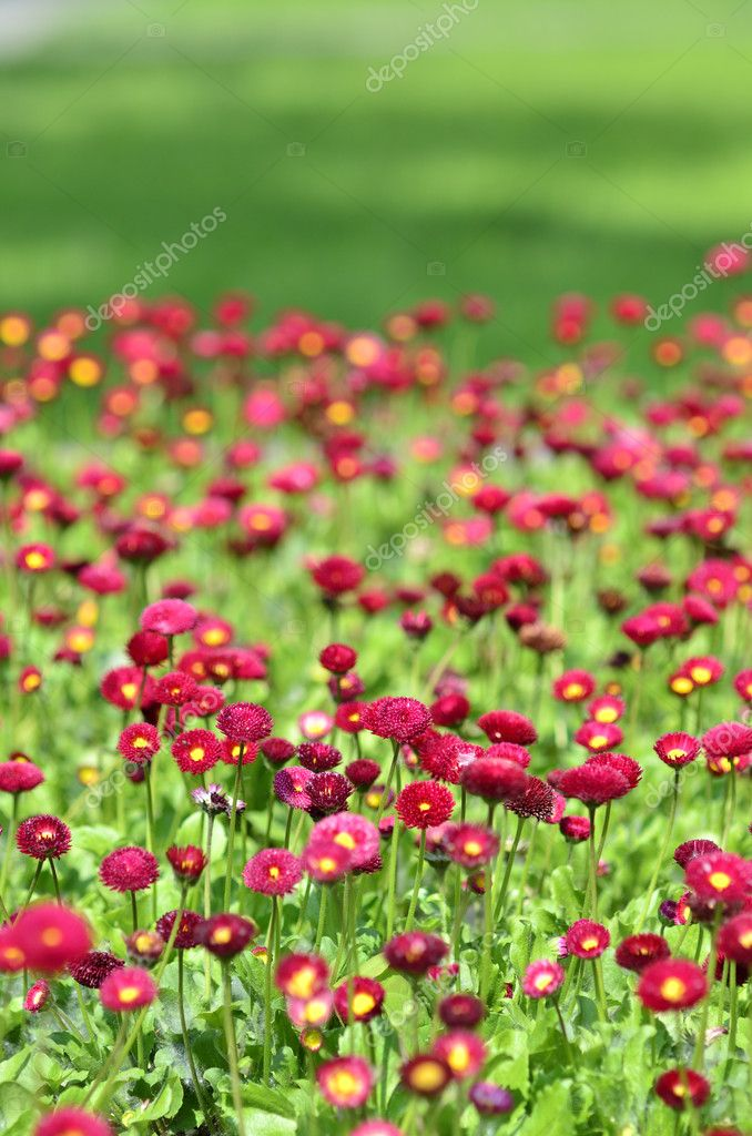 Many alive red flowers in and out of focus — Stock Photo #8061628