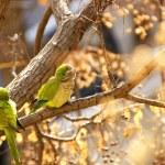 Постер, плакат: Parrots in a tree