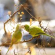 Stock Photo: Parrots in tree