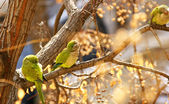 Parrots in a tree — Stock Photo