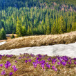 Snow and flowers are in spring mountains — Stock Photo