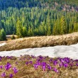 Snow and flowers are in spring mountains — Stock Photo #9468290
