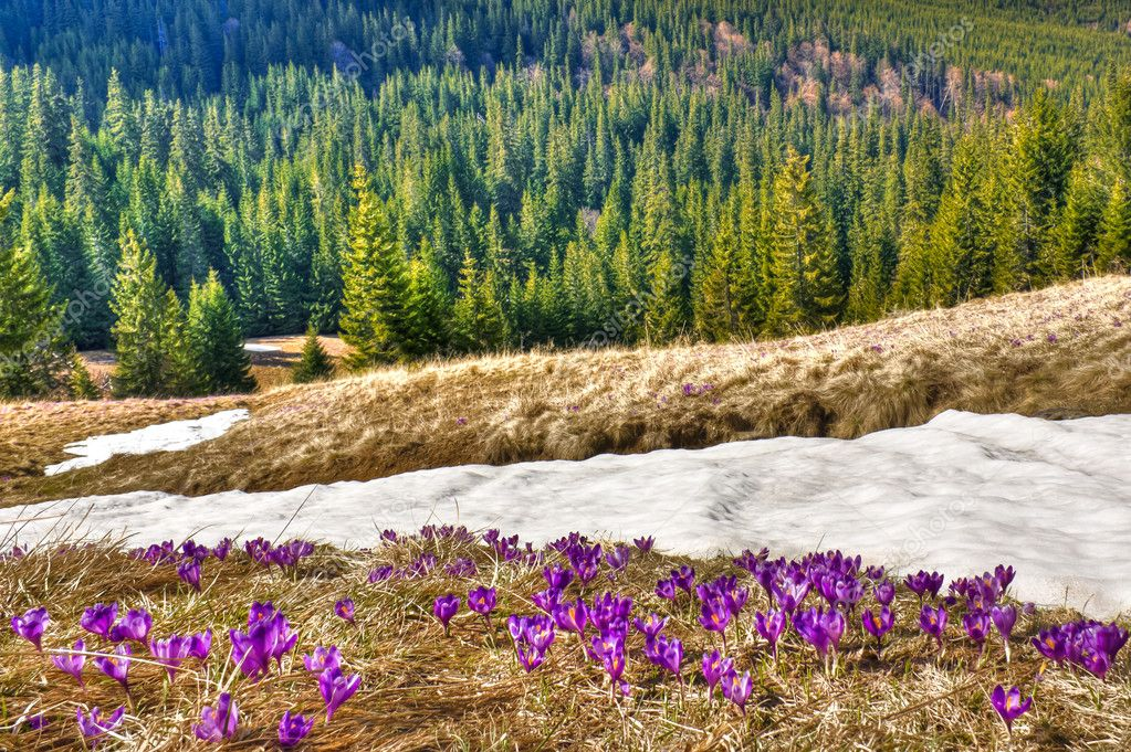 Snow and flowers are in spring mountains  Stock Photo #9468290