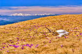 Snow and flowers are in spring mountains of Ukraine — Stock Photo