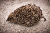 A hedgehog headily hurries by land — Stock Photo