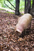 The pig eats the leaves in the wild forest — Stock Photo