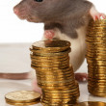 Rat on a white background — Stock Photo