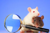 Rats with magnifier — Foto Stock