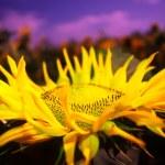 Sunflower — Stock Photo #9303496