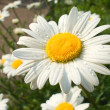 Camomile — Stock Photo #9311833