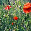 Red poppies — Stock Photo #9313063