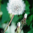 Dandelion — Stock Photo #9313114