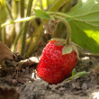 Strawberry — Foto de stock #9328978