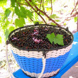 Black-currant - Foto de Stock
