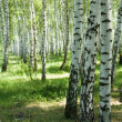 Birches — Stock Photo #9329644