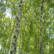 Birches — Stock Photo
