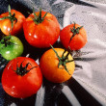 Tomato — Stock Photo #9330083