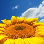 Sunflower — Stock Photo #9330638