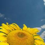 Sunflower — Stock Photo #9330646