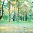 Stock Photo: Pine pine forest