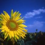 Sunflower — Stock Photo #9365428