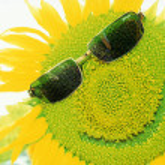 Sunflower — Stock Photo #9365445