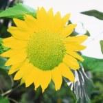 Sunflower — Stock Photo #9365574