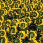 Sunflower — Stock Photo #9365586
