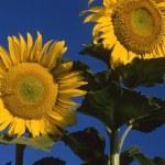 Sunflower — Stock Photo #9365778