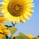 Sunflower — Stock Photo #9365779