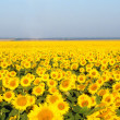 Stock Photo: Sunflower