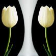 Stock Photo: Tulips on a white background