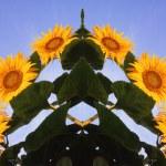 Sunflower — Stock Photo #9366981
